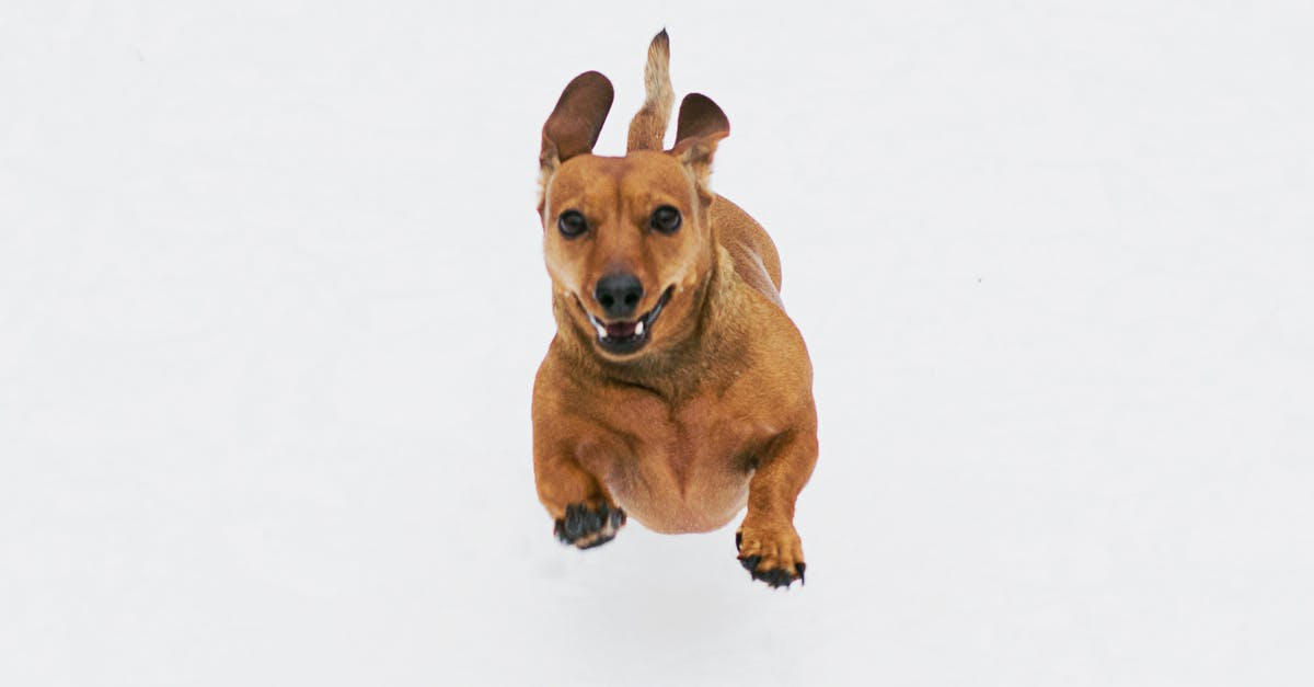 A small brown dog